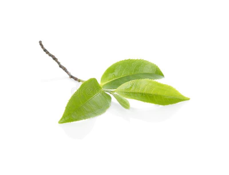Groen Theeblaadje Groen die theeblad op witte achtergrond wordt geïsoleerd royalty-vrije stock foto