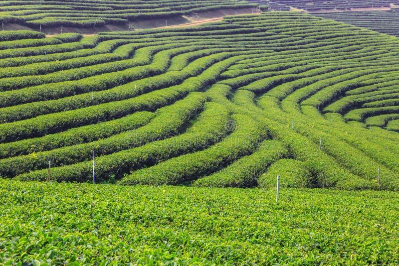 Groen theegebied stock afbeelding