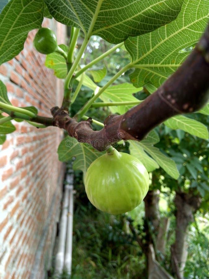 groen Tinfruit of aronskelkenfruit royalty-vrije stock fotografie