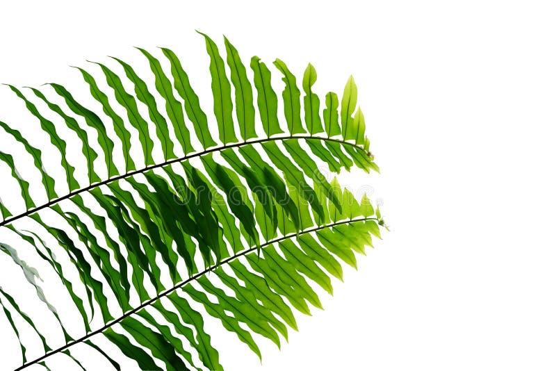 Groen van het het regenwoudgebladerte van de bladerenvaren tropisch van de de installatieaard het bladpatroon dat op witte achter stock fotografie