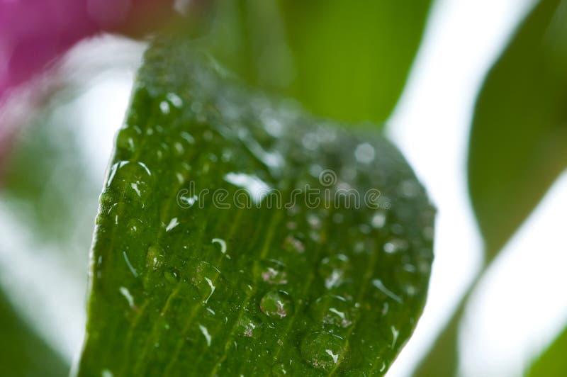 Groen vers blad op dauw royalty-vrije stock foto