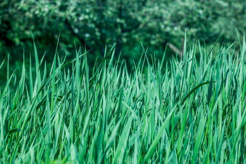 Groen, vers en het gezonde gras van de lente? stock foto's