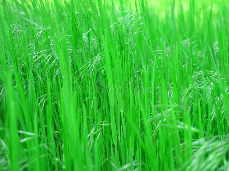 Groen vers gras royalty-vrije stock afbeelding