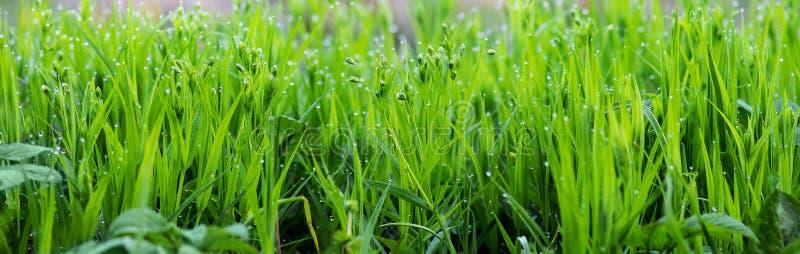 Groen vers jong gras met dauwdalingen in de ochtend, achtergrond voor design_ royalty-vrije stock foto's