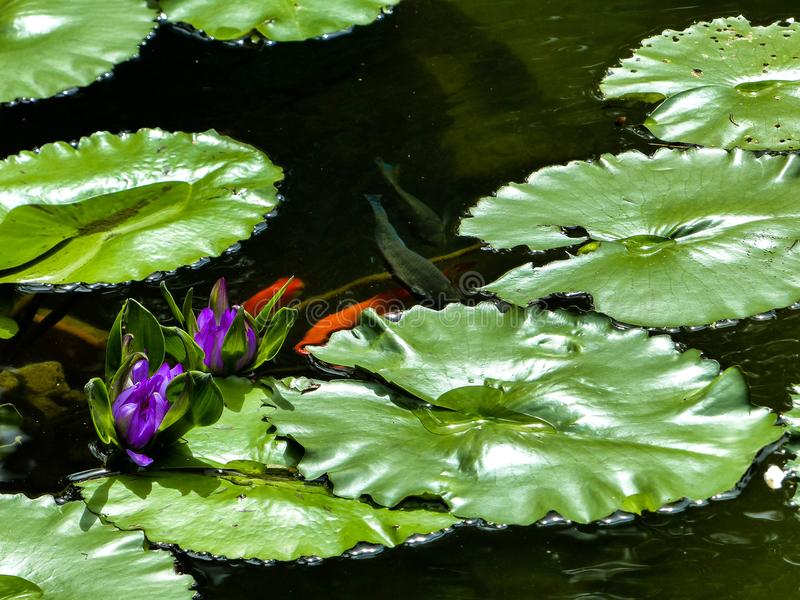 Groen vult lilly het drijven op een donkere vissenvijver op stock foto's
