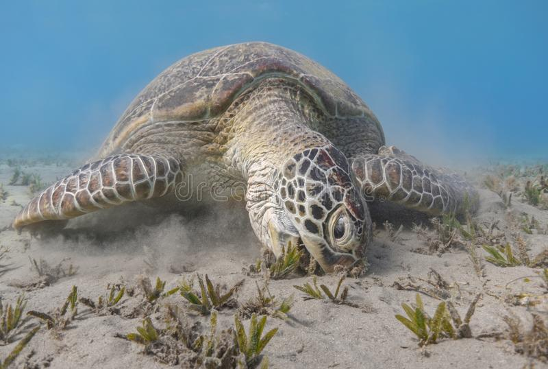 Groen zeeschildpad het voeden overzees gras dicht omhoog royalty-vrije stock foto