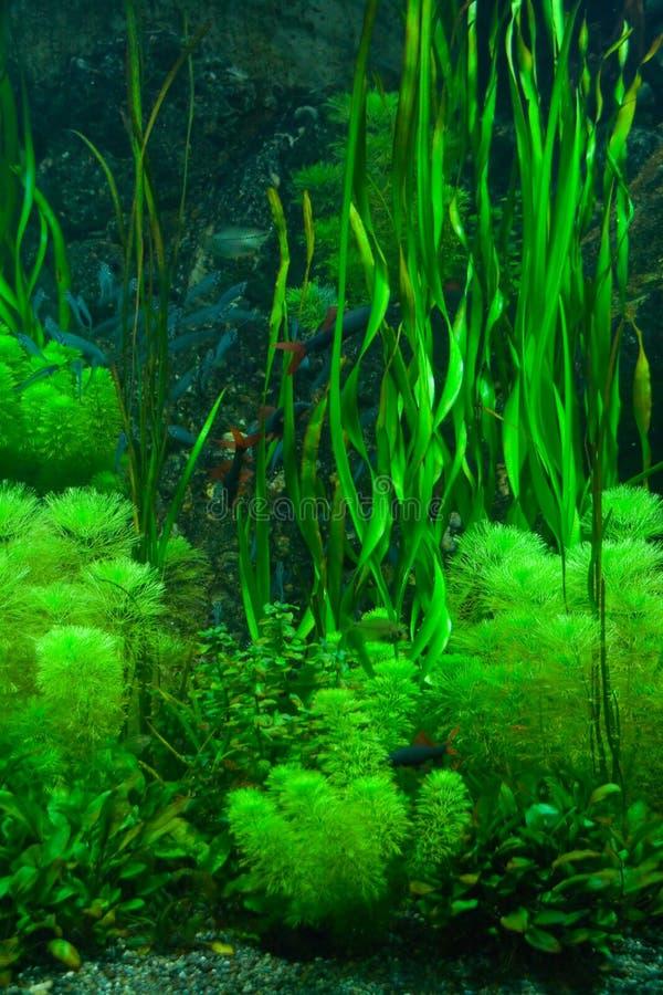 Groen zeewier stock foto