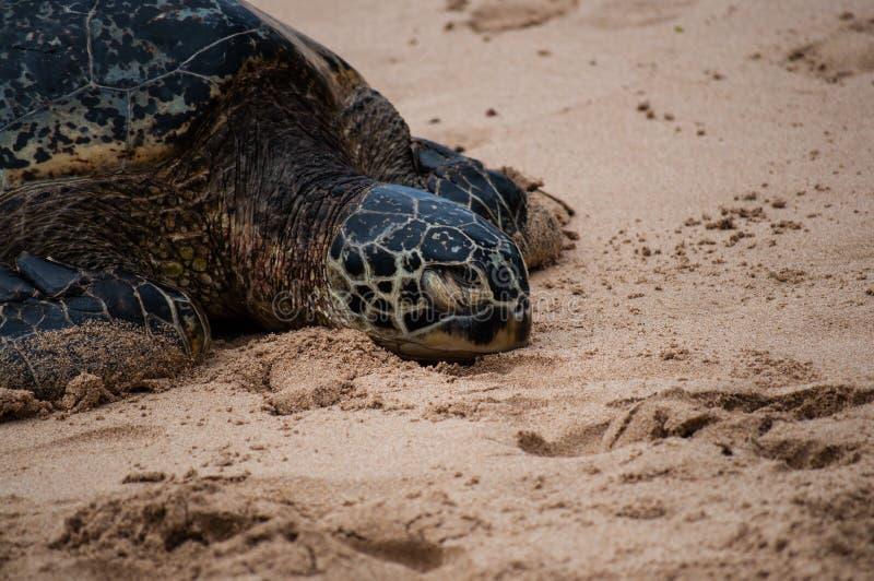 Groen zie schildpad rustend op een Hawaiiaans strand stock fotografie