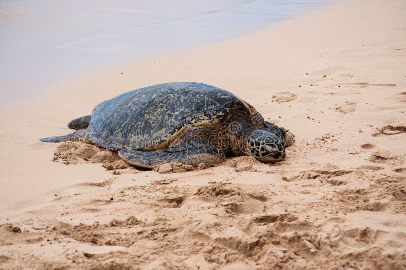 Groen zie schildpad rustend op een Hawaiiaans strand royalty-vrije stock afbeeldingen