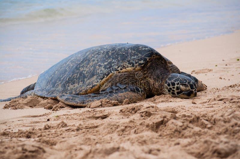Groen zie schildpad rustend op een Hawaiiaans strand stock foto