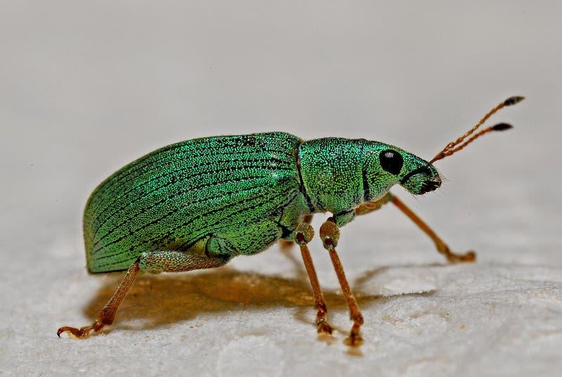 Groen Zwart en Bruin Insect stock foto's