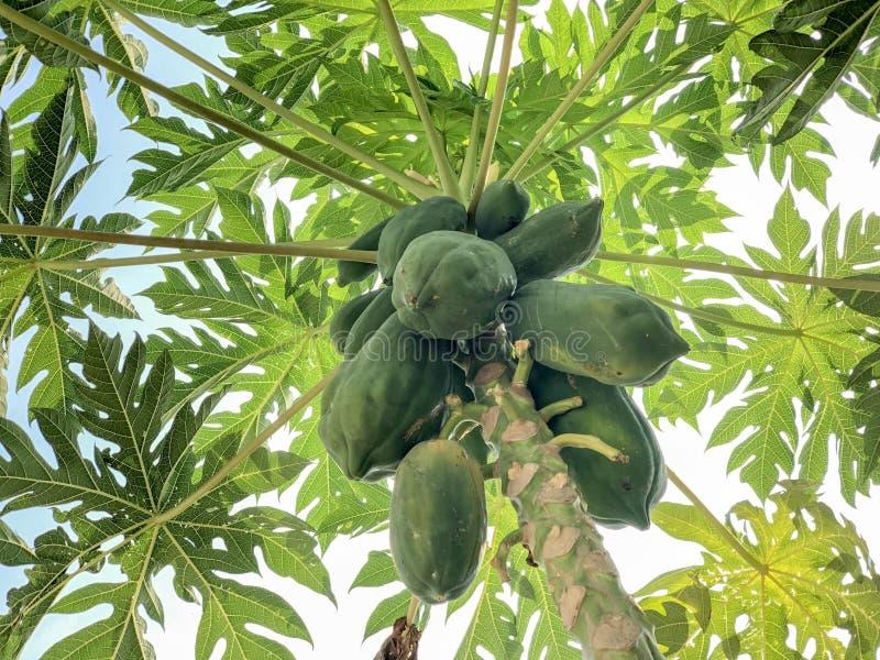 Groenachtige papajaboom op gebied royalty-vrije stock afbeeldingen