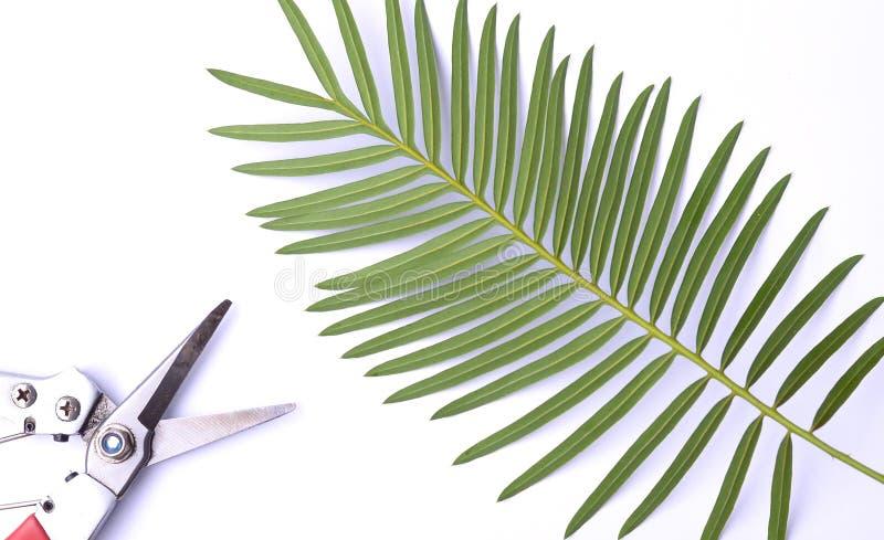 GroendeanvisningsPachypodium mikea - den Madagaskar palmCycaschamaoensisen namnges efter den enda bekanta livsmiljön av denna spe royaltyfri fotografi