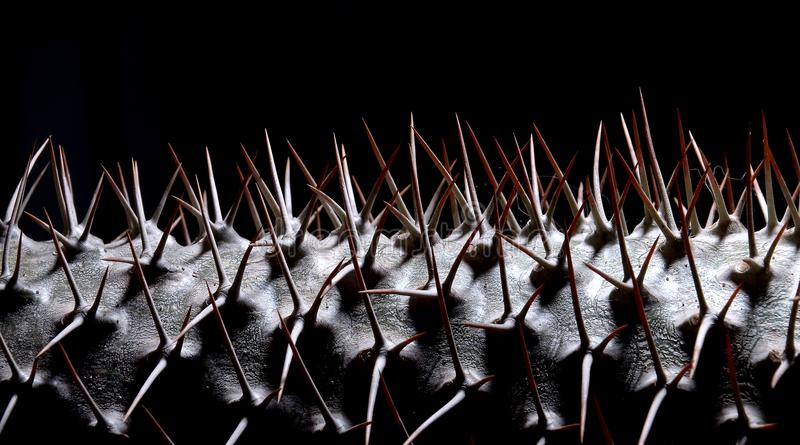 GroendeanvisningsPachypodium mikea - Madagaskar gömma i handflatan royaltyfria bilder