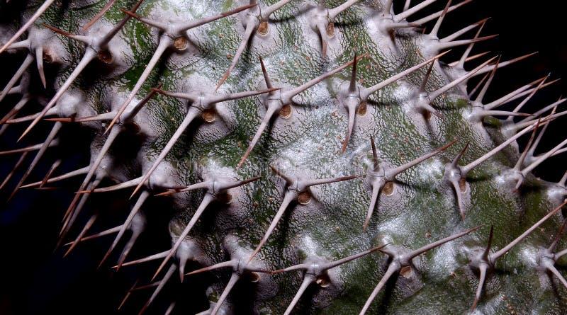 GroendeanvisningsPachypodium mikea - Madagaskar gömma i handflatan fotografering för bildbyråer