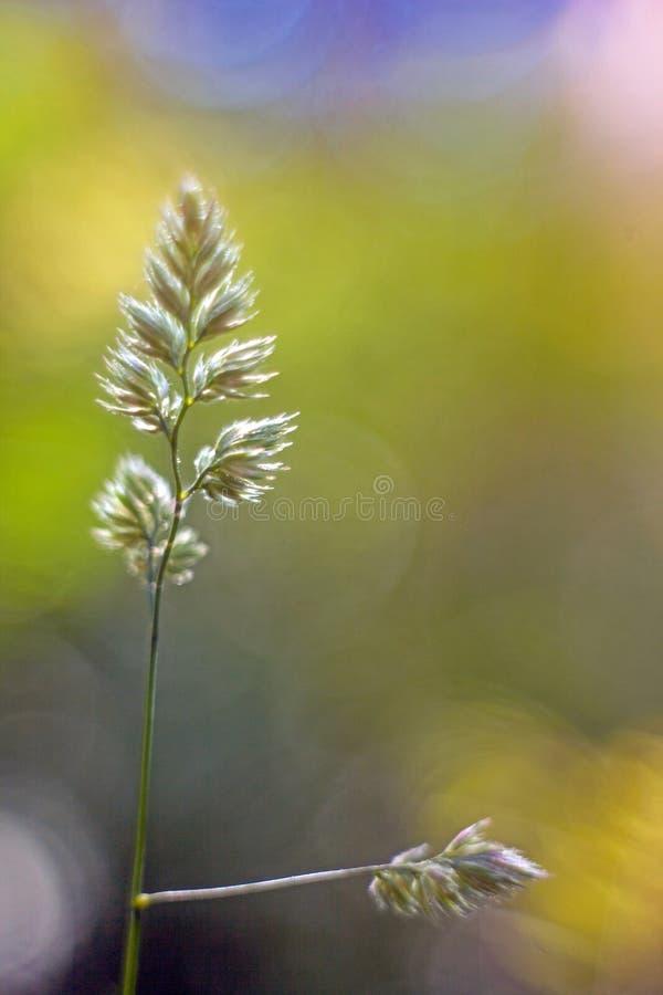 Groene aar van gras met vage achtergrond stock foto's