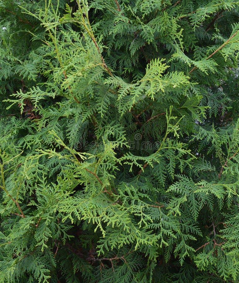 Groene aard, boom, installatie, bos, blad, tak, pijnboom, tuin, flora, altijdgroen mos, varen, struik, bladeren, natuurlijke text stock foto