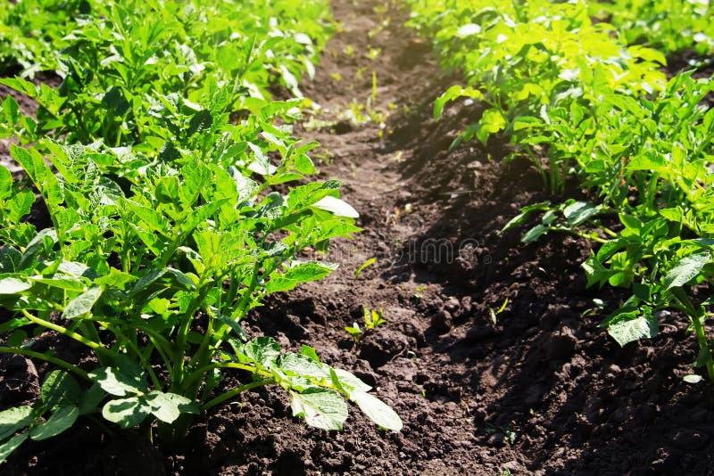 Groene aardappelstruiken op een de zomer zonnig gebied Cultuur van groenten stock foto