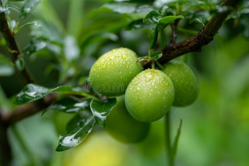 Groene abrikozen op een tak met regendalingen in zachte nadruk stock foto