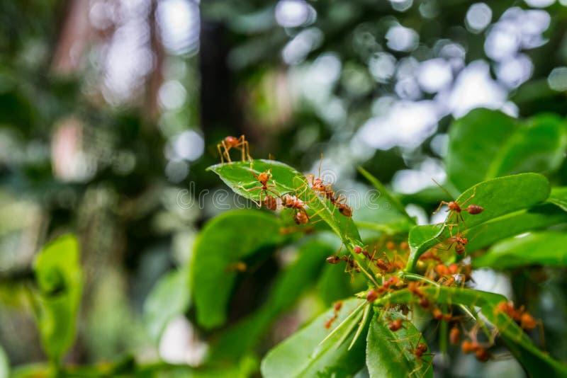 Groene achtergrond natuurlijke als achtergrond van aard Groene bladeren van groenten van mijn binnenplaats oranje mier op groene  royalty-vrije stock foto's