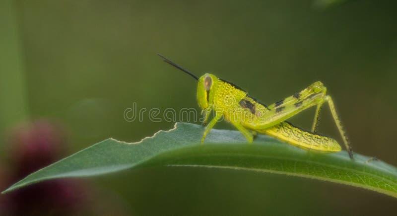 Groene acrididae op een groen blad royalty-vrije stock foto's