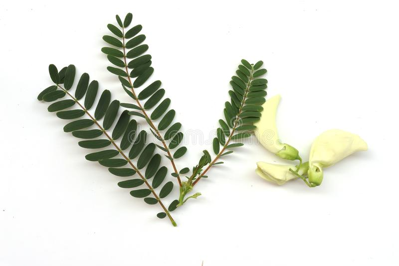 Groene agasta met blad: Grandiflora Sesbania, de boom van Aeschynomene, van agati of van de kolibrie kan deze eten bloem plantaar stock foto