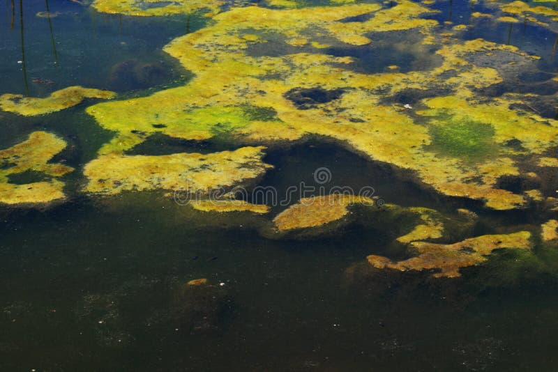Groene algen royalty-vrije stock foto