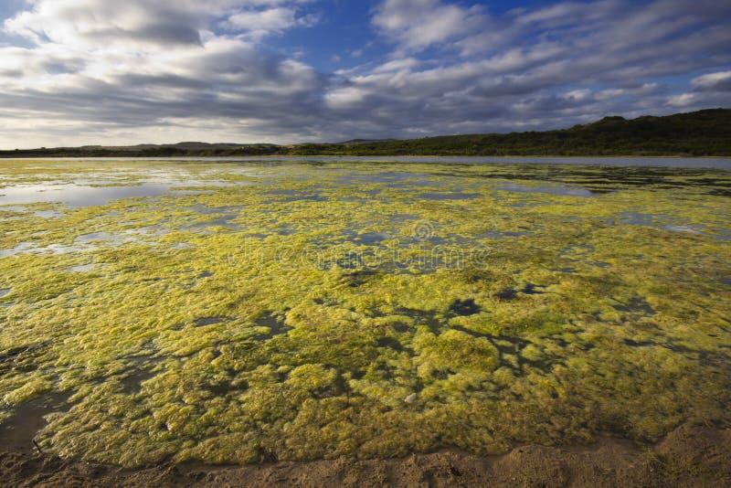 Groene algen die op rivier groeien stock fotografie