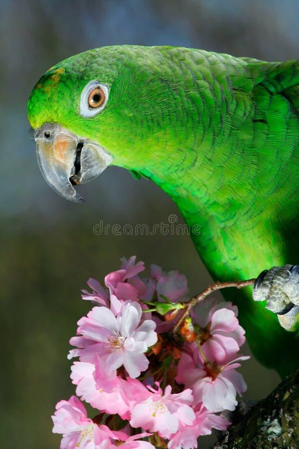 Groene Amazonië papegaai stock foto's
