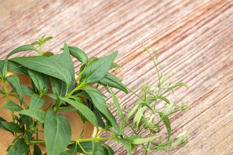 Groene Andrographis-paniculata of groene chireta op houten lijst Kruidconcept royalty-vrije stock foto
