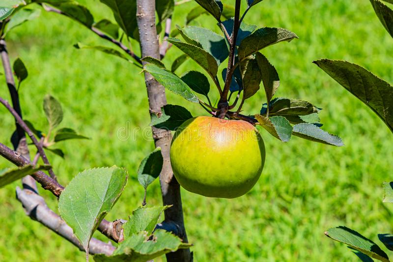 Groene appel op de boom royalty-vrije stock foto
