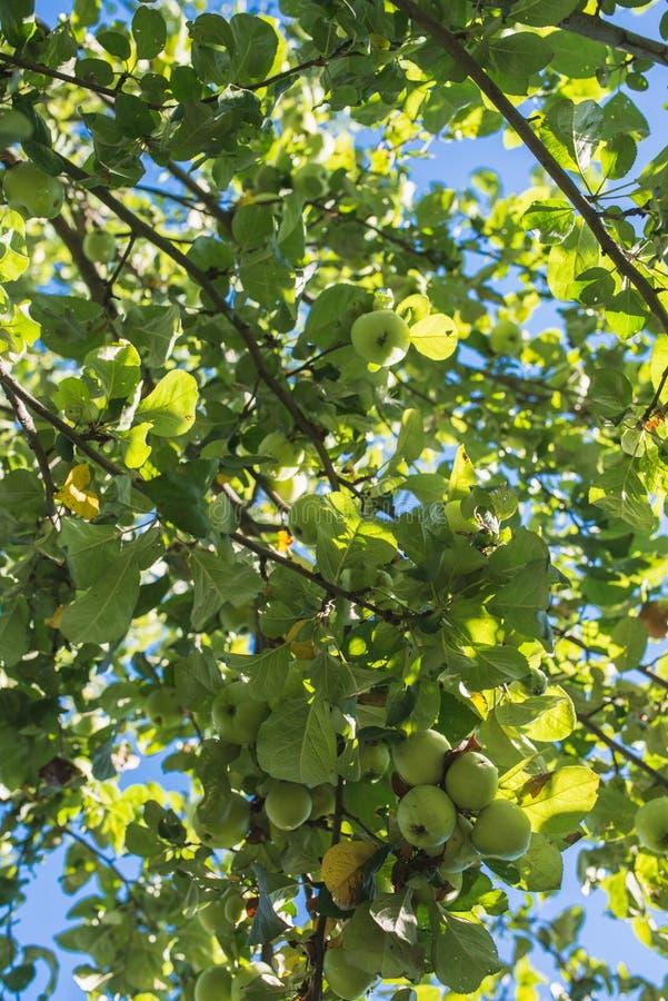 groene appel op tak tegen blauwe hemel royalty-vrije stock afbeelding