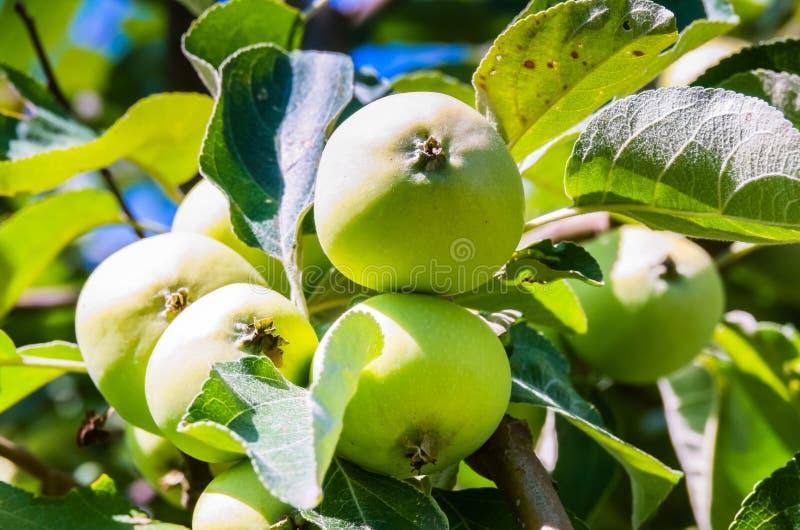 Groene appel op tak tegen blauwe hemel en zon royalty-vrije stock afbeeldingen