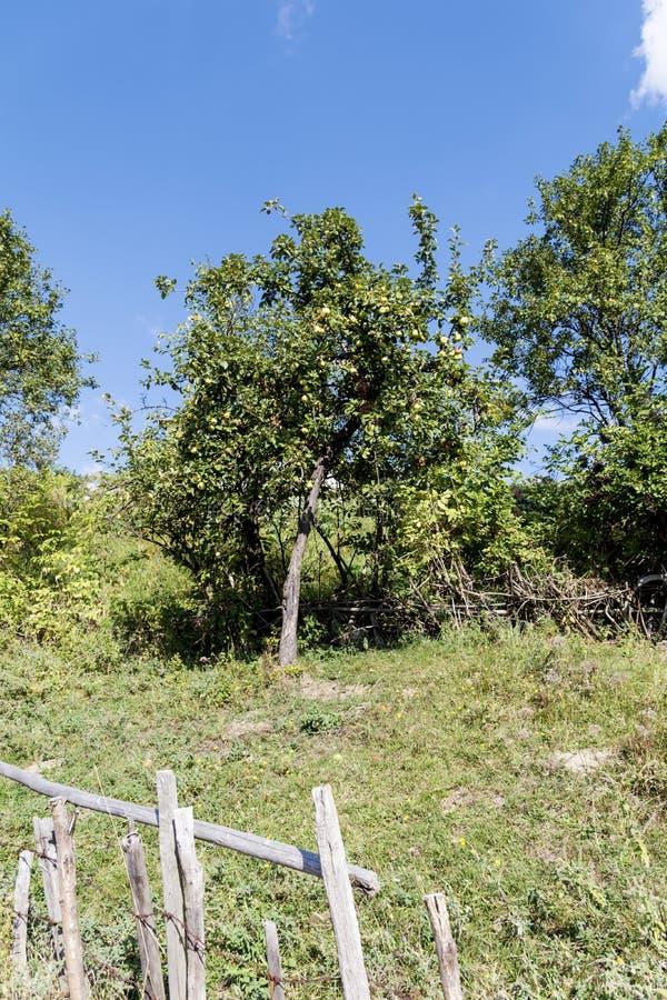 Groene appelboom in de de herfsttuin royalty-vrije stock fotografie