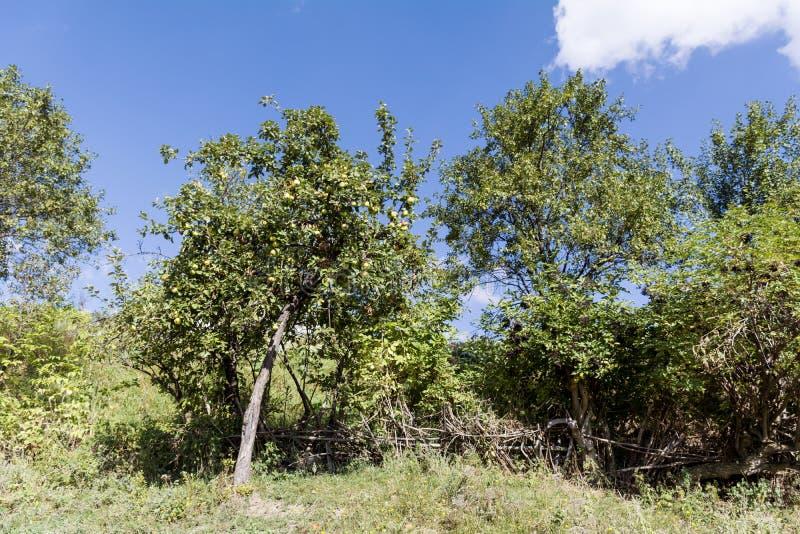 Groene appelboom in de de herfsttuin stock foto's