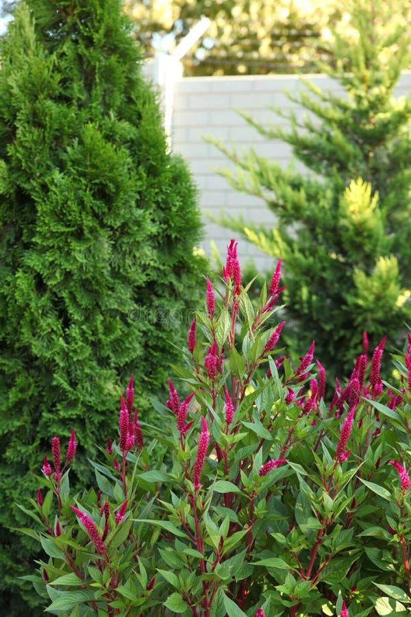 Groene arborvitae en het bloeien installatiespurple in de tuin royalty-vrije stock afbeeldingen