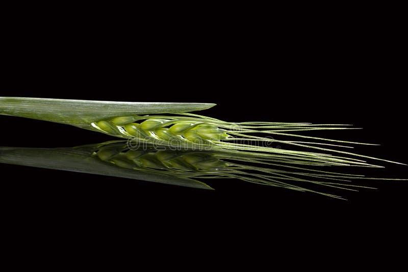 Groene aren van tarwe stock afbeelding