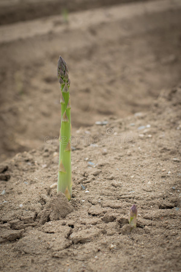 Groene asperge in grond royalty-vrije stock afbeelding