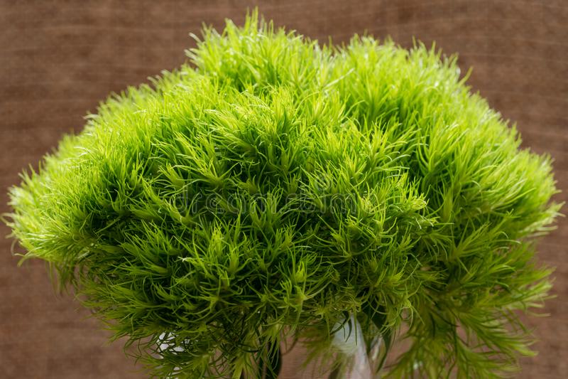 Groene Bal - Dianthus Barbatus - Zoete William Unieke bal-Vormig, kalk groene bloemen in duidelijke glasvaas isoleerde op natuurl stock afbeeldingen