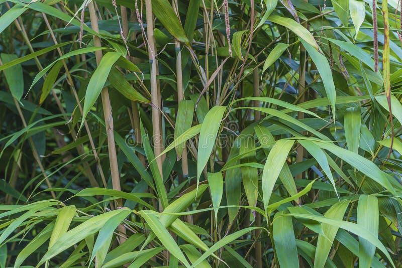 Groene bamboe dichte omhooggaand royalty-vrije stock afbeeldingen