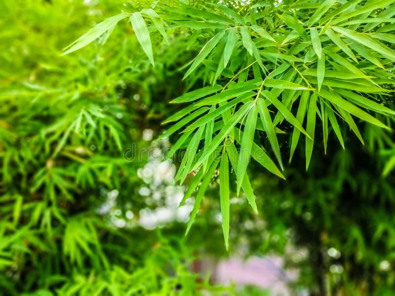 Groene bamboebladeren op de takken in de zomer op vage bokeh aardachtergrond royalty-vrije stock afbeeldingen