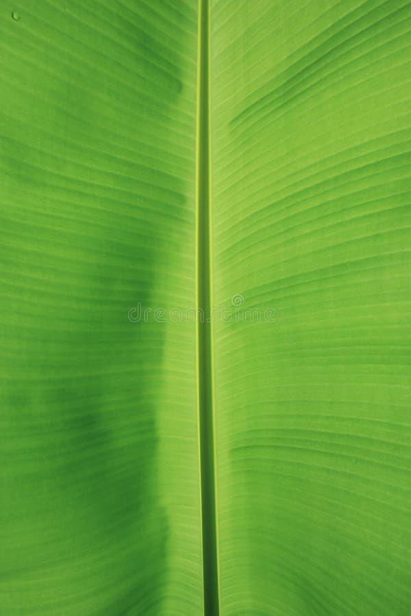 Groene banaanbladeren als achtergrond royalty-vrije stock foto