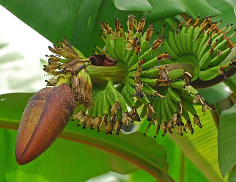 Groene banaanbloem en banaan royalty-vrije stock afbeelding