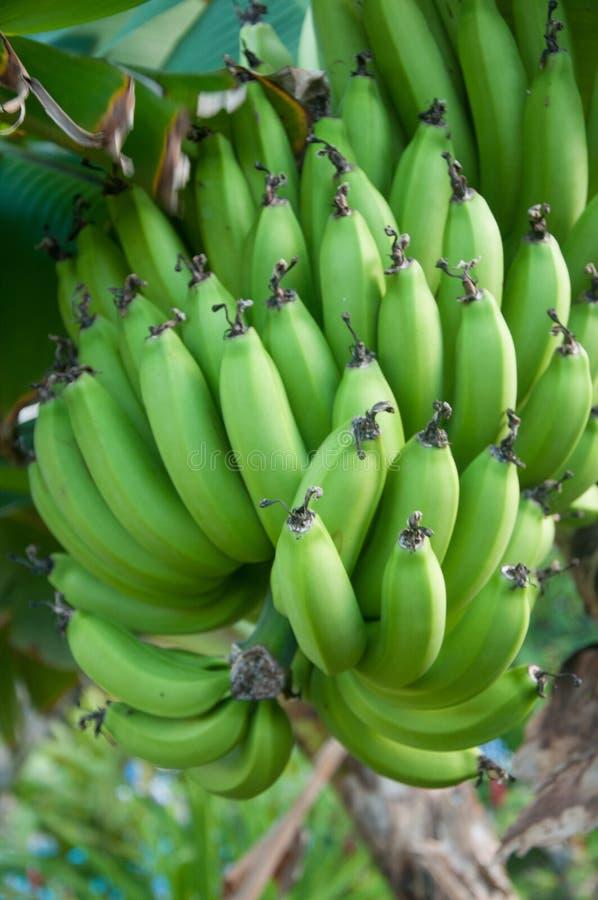 Groene Bananen in een bos op een boomtak royalty-vrije stock afbeelding