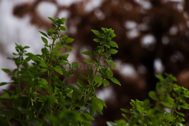 Groene basilicuminstallatie met uit nadruk bruine achtergrond kleine het groeien bladeren royalty-vrije stock foto's