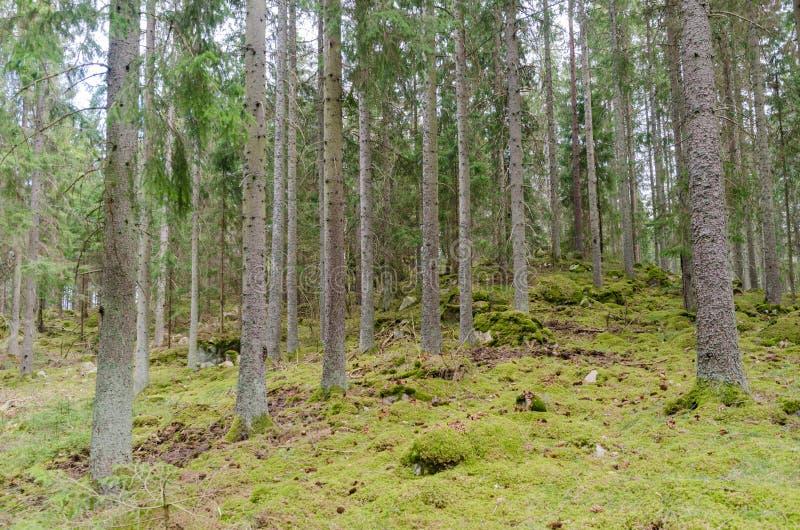 Groene bemoste grond in een naald net boombos royalty-vrije stock foto's