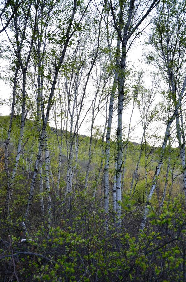 Groene berkbomen in het bos stock afbeelding