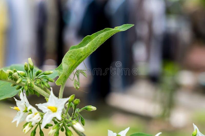 Groene bidsprinkhanen onder het blad stock foto's