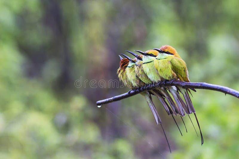Groene bij-Eter en Regen stock foto