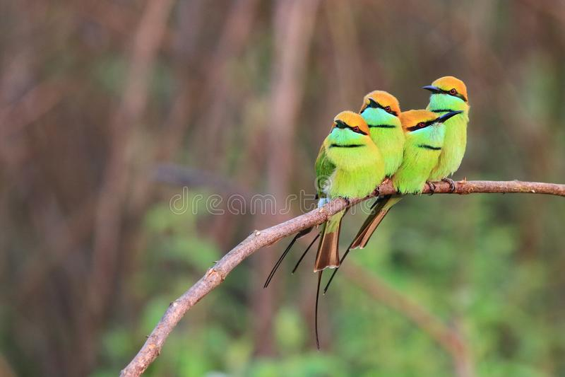 4 groene bij-eter stock foto